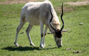 Addax Antelope