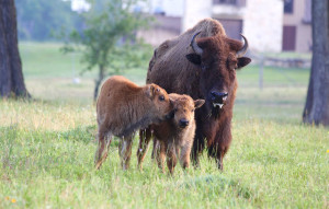 American buffalo with calves at Cold Creek Ranch Texas