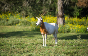 Scimitar Oryx at Cold Creek Ranch Texas