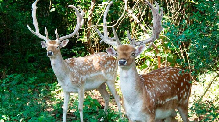 Texas Fallow Deer
