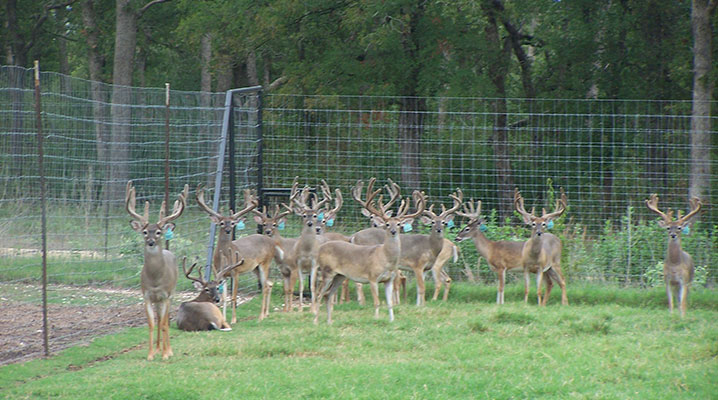 Whitetail Deer Breeders Texas