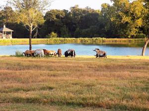 Mouflon Ram For Sale