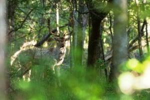 Fallow Deer For Sale