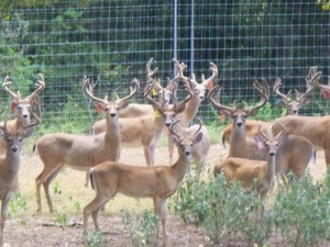 Whitetail Deer For Sale