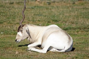 Addax Antelope for Sale