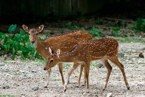 Axis Deer For Sale