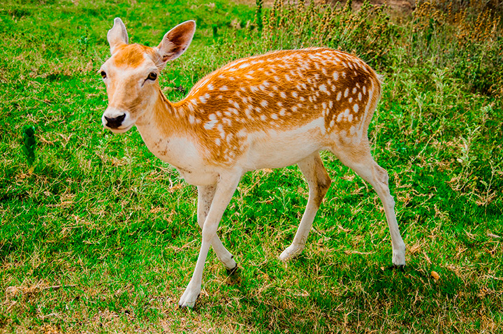 axis deer for sale ranch