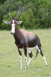 Blesbok For Sale