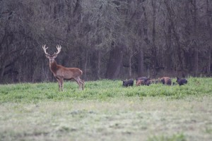 Red Stag and Wild Boar at Cold Creek Ranch Texas
