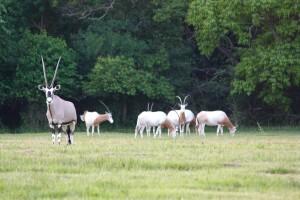 03-2017_Gemsbok Antelope 2 at Cold Creek Ranch, Texas