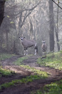 03-2017_Gemsbok Antelope at Cold Creek Ranch, Texas