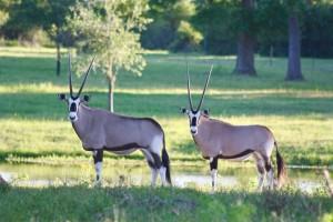 05-2017_Gemsbok Antelope at Cold Creek Ranch, Texas