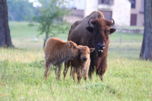 05-2017_buffalo with calf at Cold Creek Ranch, Texas