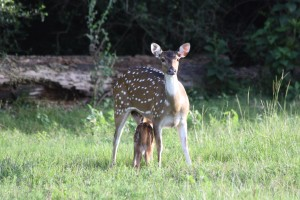 07-2017_Axis doe feeding her fawn at Cold Creek Ranch, Texas