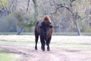 12-2016_Buffalo at Cold Creek Ranch, Texas
