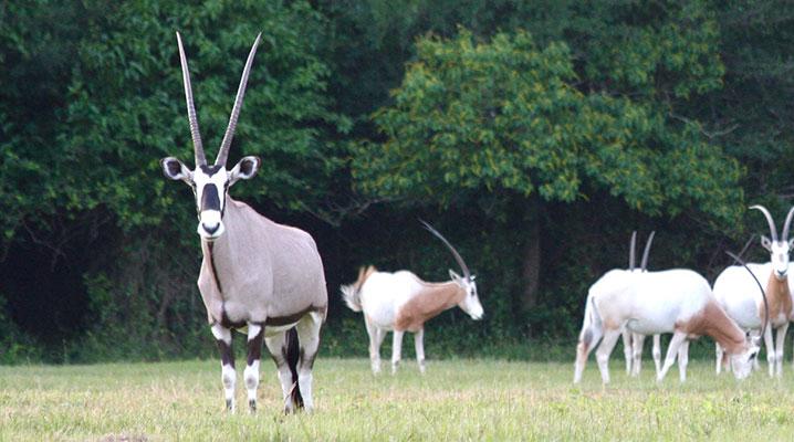 Gemsbok Antelope at Cold Creek Ranch Texas
