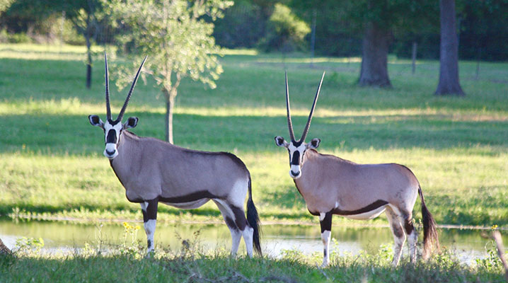 Gemsbok Antelope at Cold Creek Ranch Texas