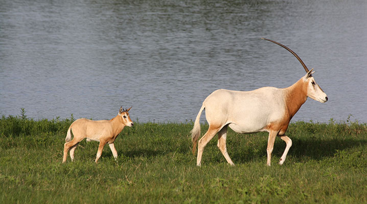 Baby Scimitar Horned Oryx at Cold Creek Ranch Texas