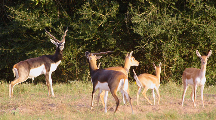 Texas blackbuck antelope at Cold Creek Ranch Texas