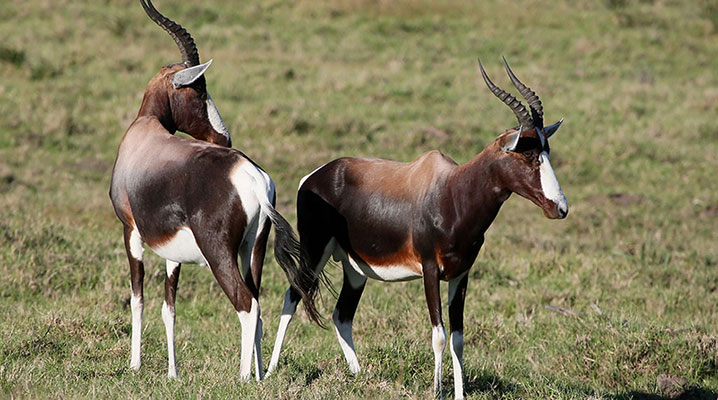 Blesbok Antelope at Cold Creek Ranch in Texas
