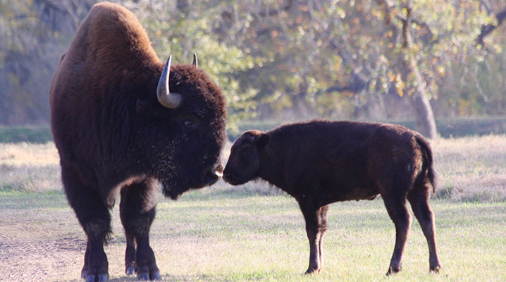 Texas buffalo with calf at Cold Creek Ranch Texas