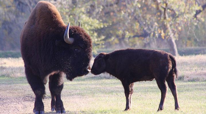 Texas buffalo with calf at Cold Creek Ranch Texas