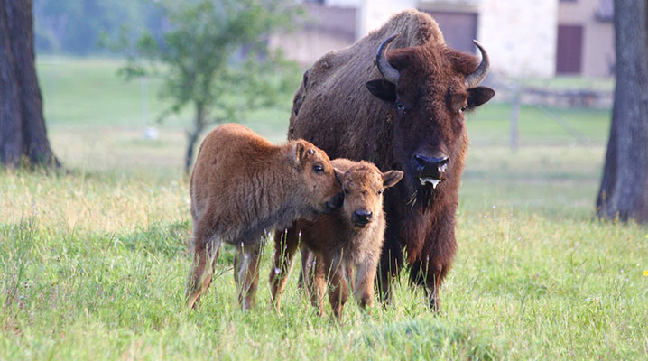 Buffalo with calves at Cold Creek Ranch Texas