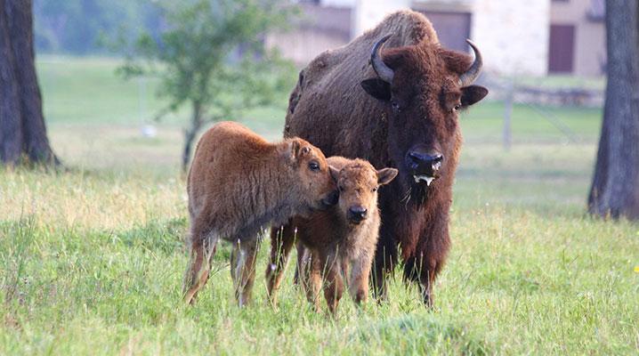 Buffalo with calves at Cold Creek Ranch Texas
