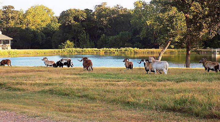 Mouflon Ram at Cold Creek Ranch Texas
