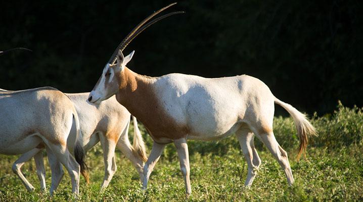 Scimitar Oryx at Cold Creek Ranch Texas