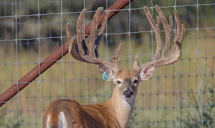 Whitetail buck at Cold Creek Ranch Texas