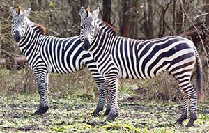 Grant's Zebra in Texas at Cold Creek Ranch