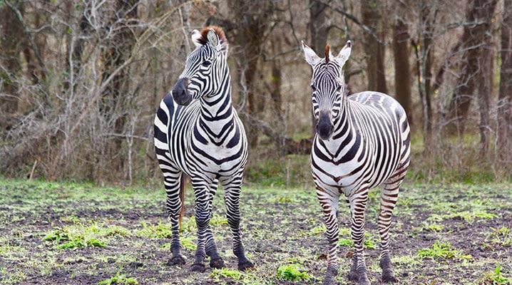 Grant's Zebra at Cold Creek Ranch Texas