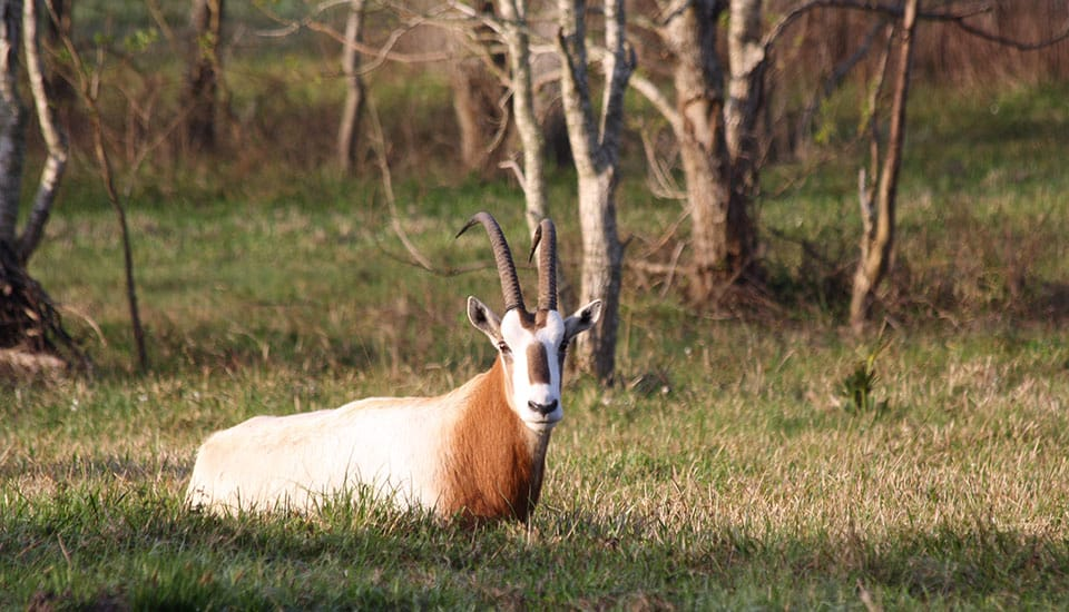 Scimitar Horned Oryx at Cold Creek Ranch Texas