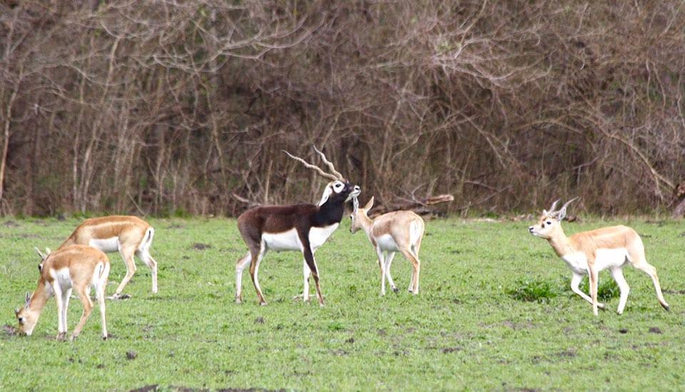 Blackbuck Antelope at Cold Creek Ranch Texas