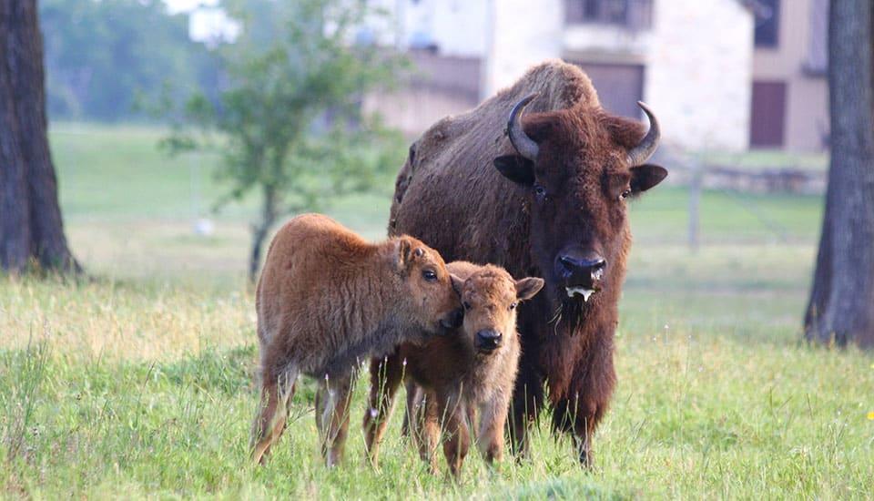 Texas Buffalo with calves at Cold Creek Ranch in Bellville, Texas