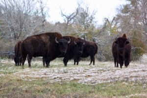 Buffalo in snow at Cold Creek Ranch in Bellville, Texas