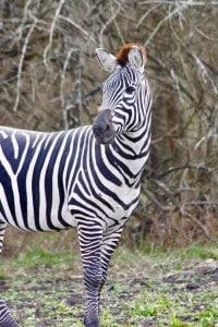 Grants Zebra at Cold Creek Ranch Texas