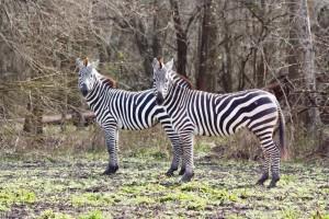 Grants Zebra at Cold Creek Ranch Texas, near Houston