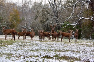 Red deer and red stag at Cold Creek Ranch in Bellville, Texas