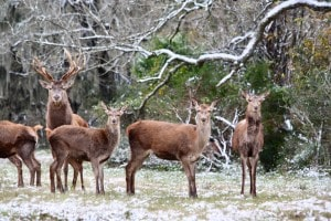 Red stag with red deer at Cold Creek Ranch in Bellville, Texas