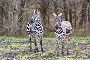 Zebra at Cold Creek Ranch Texas, near Houston