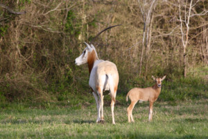 Scimitar Oryx and baby at Cold Creek Ranch Texas March 2018