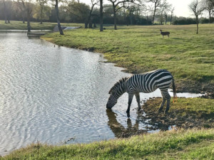 Zebra drinking from pond at Cold Creek Ranch Texas March 2018
