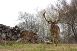 Exotic game animals at Cold Creek Ranch Texas March 2018