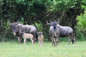 Wildebeest for Sale in Texas
