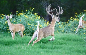 Quality Whitetail Deer